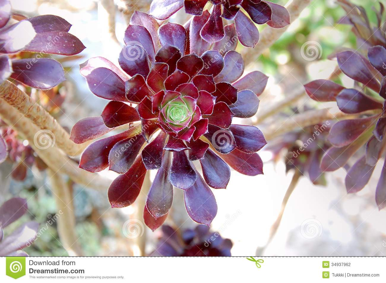 red leafy succulent stock photography image 34937962