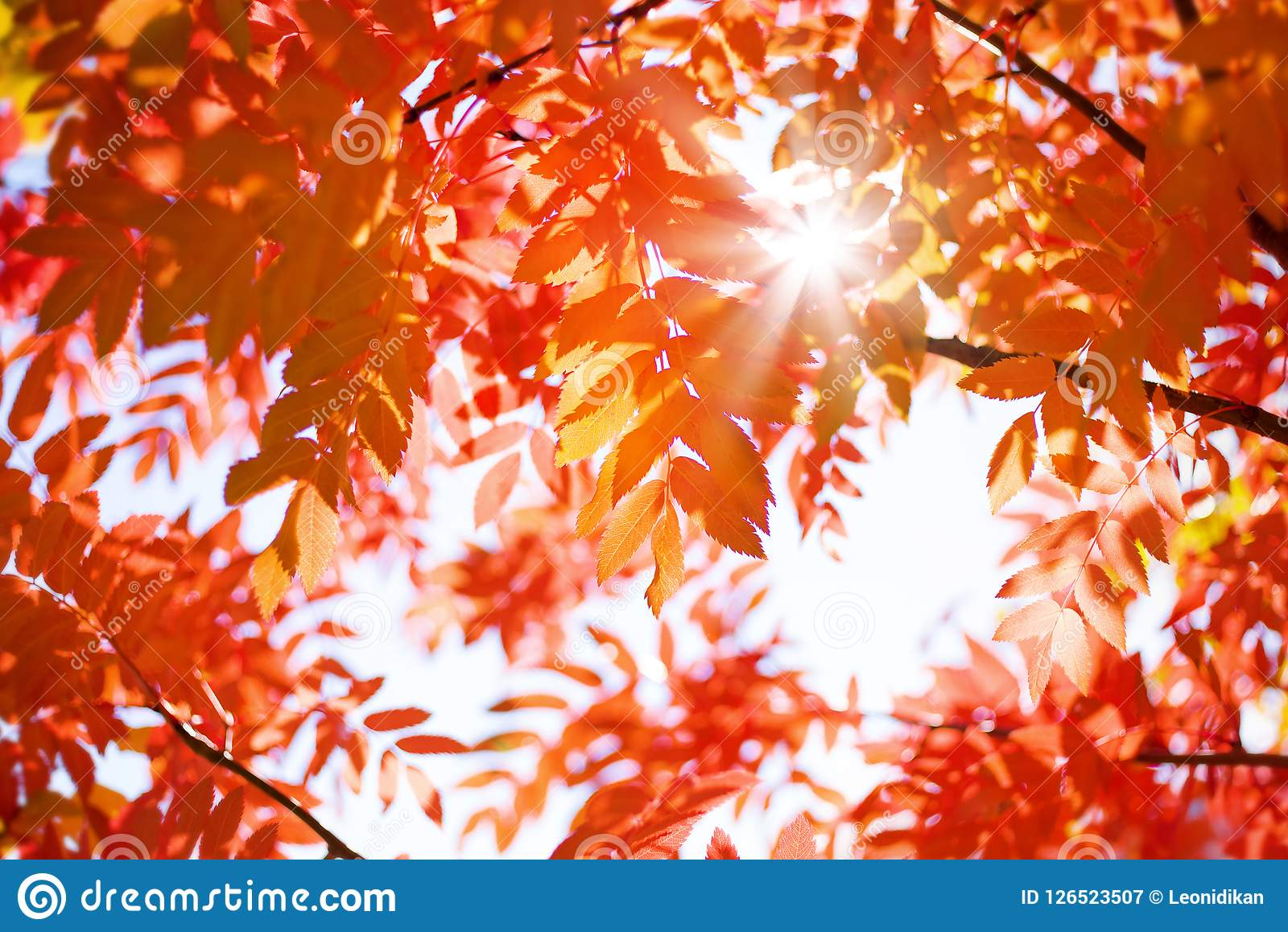 Red leaves of mountain ash in the sun