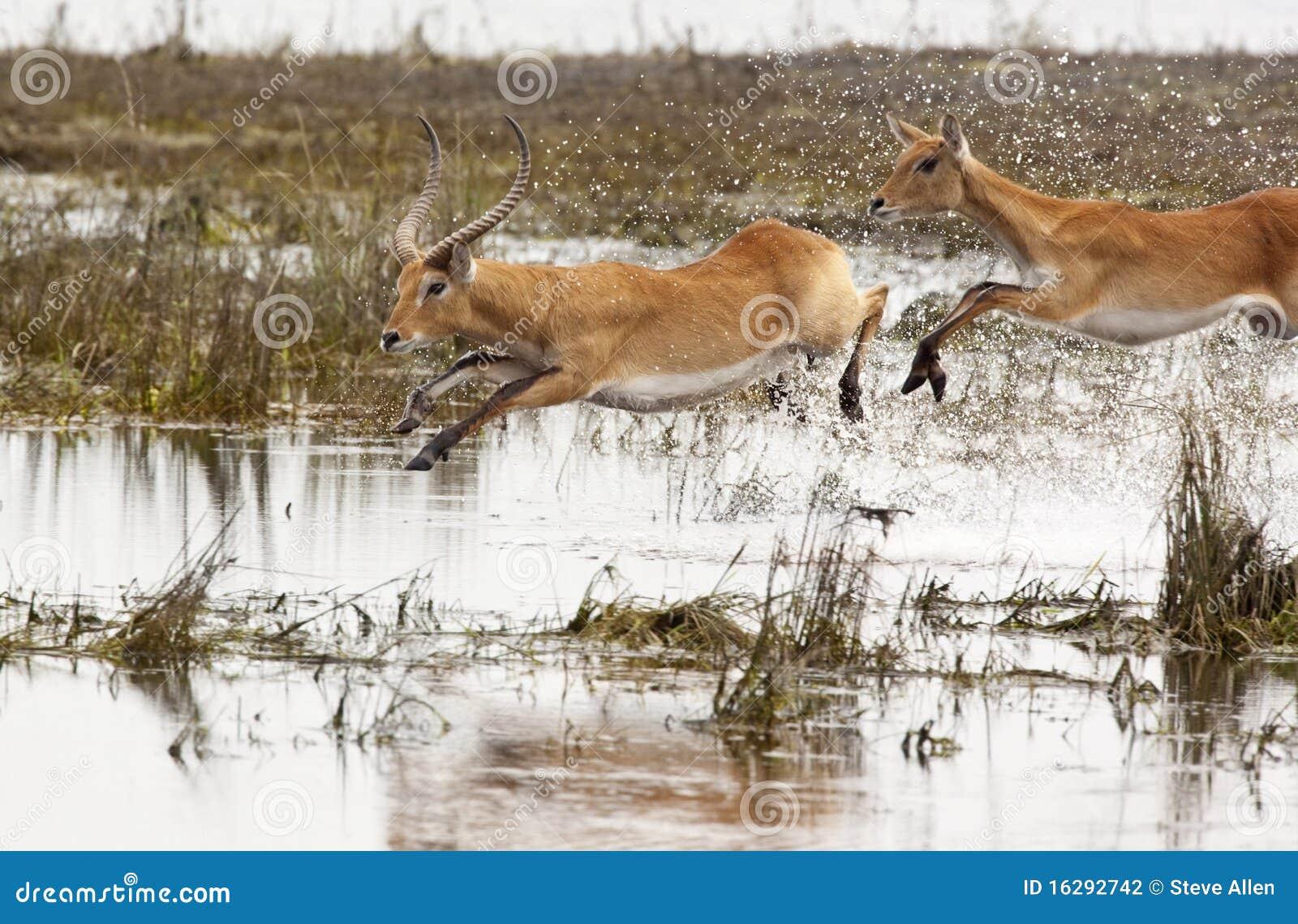 Red Lechwe Antelope - Botswana