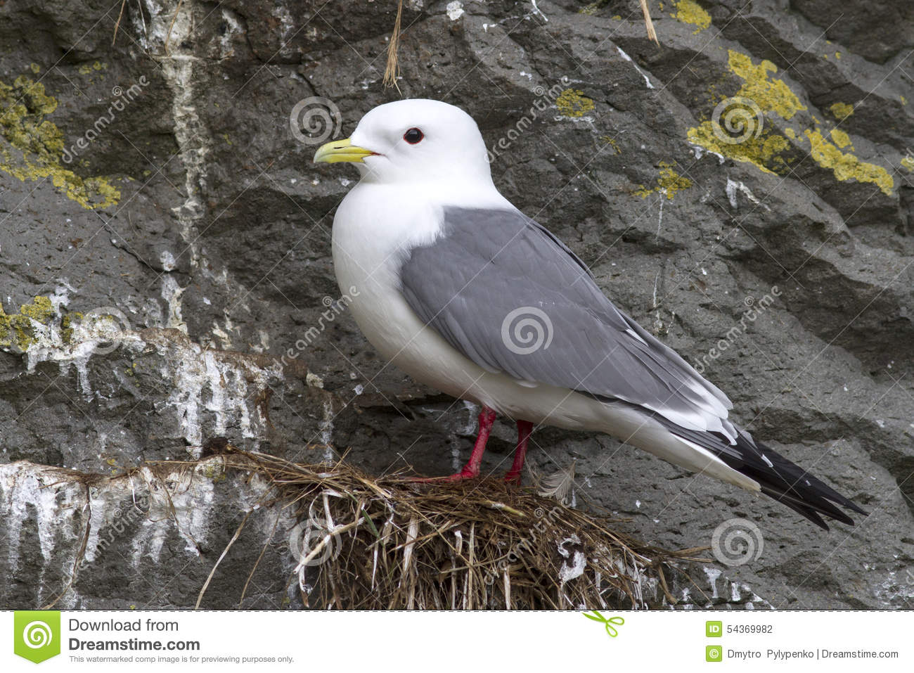 Red-legged kittiwake which stands on the nest