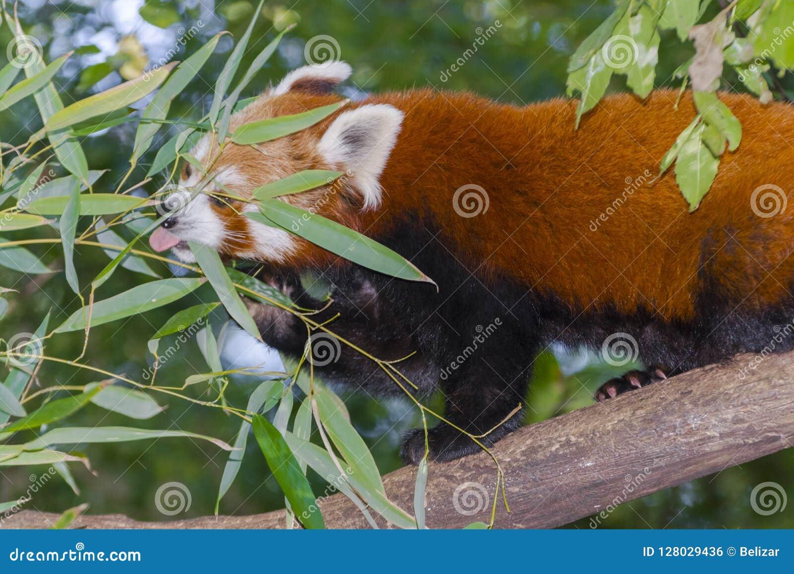 Red or lesser panda