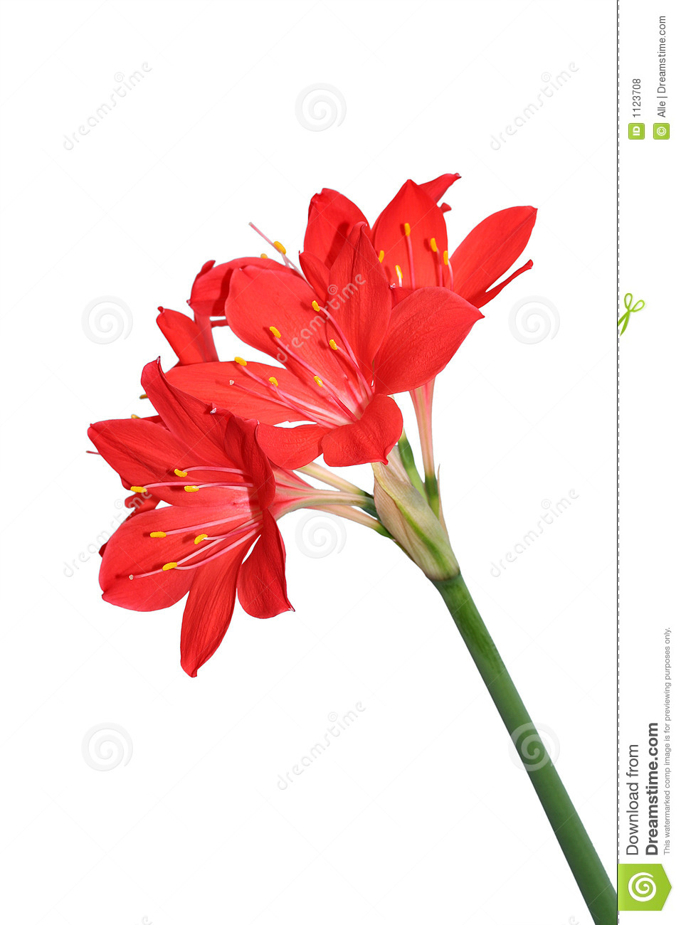 red lilies royalty free stock photos  image, Natural flower