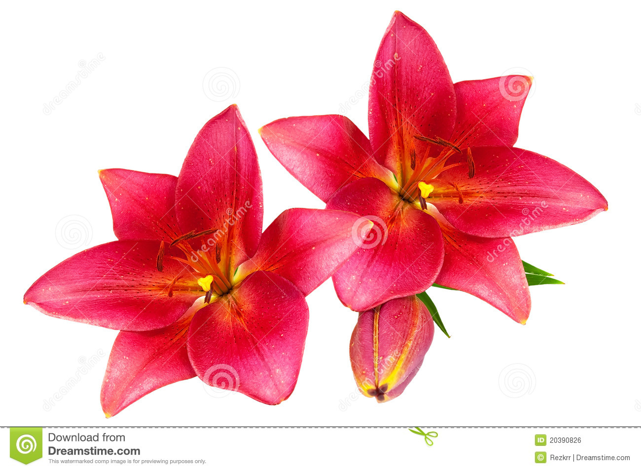 red lilies royalty free stock image  image, Natural flower