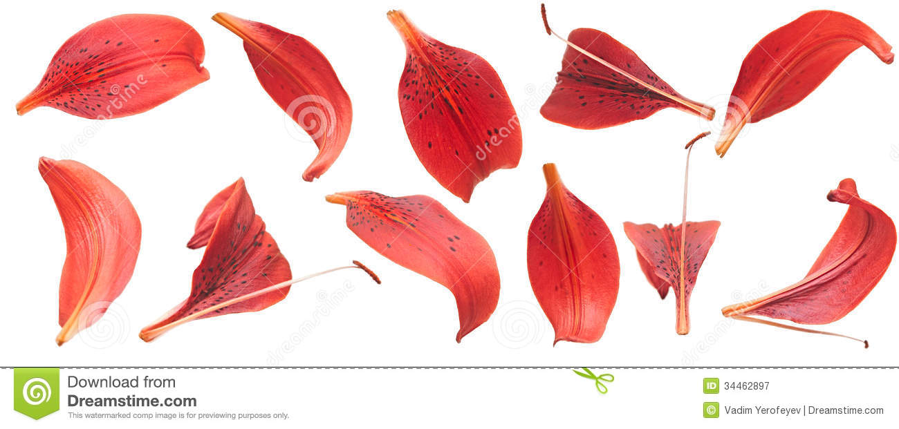 red lilies petals stock image image of isolated blooming 34462897