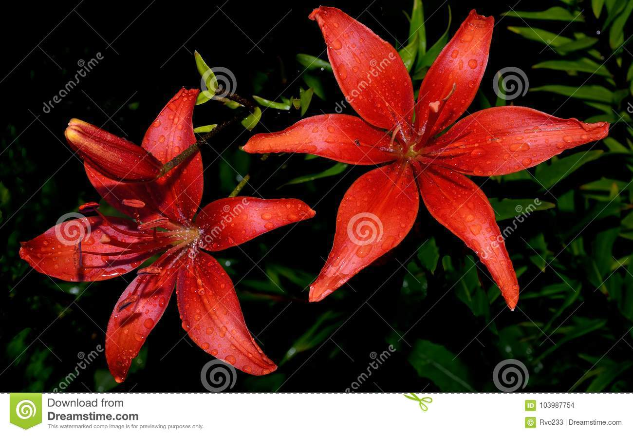Red lilies with rain droplets on a black background stock photo royalty free stock photo izmirmasajfo