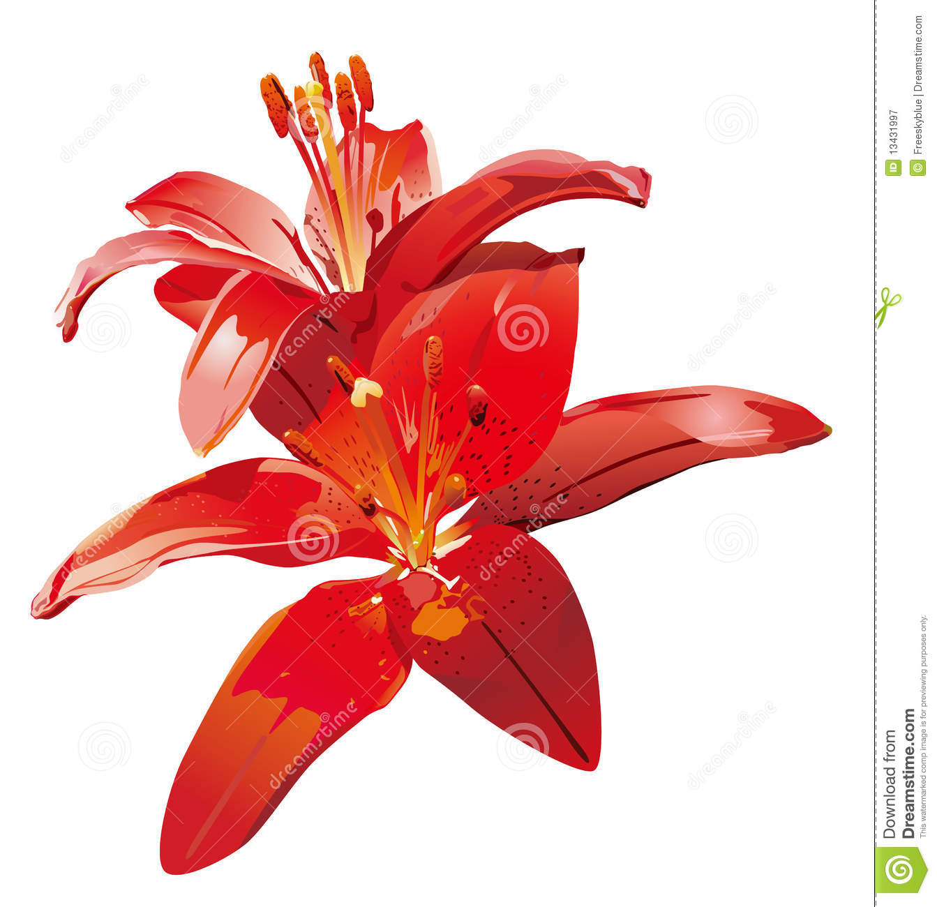 red lily flower stock illustration illustration of