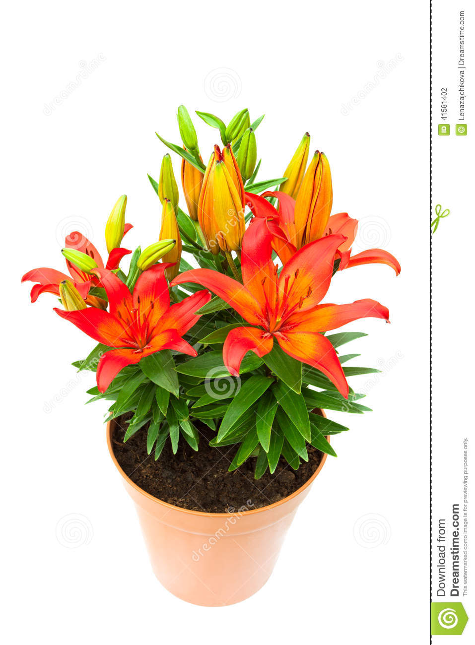 Red lily flowers in the pot isolated image stock photo for Plante de pot exterieur