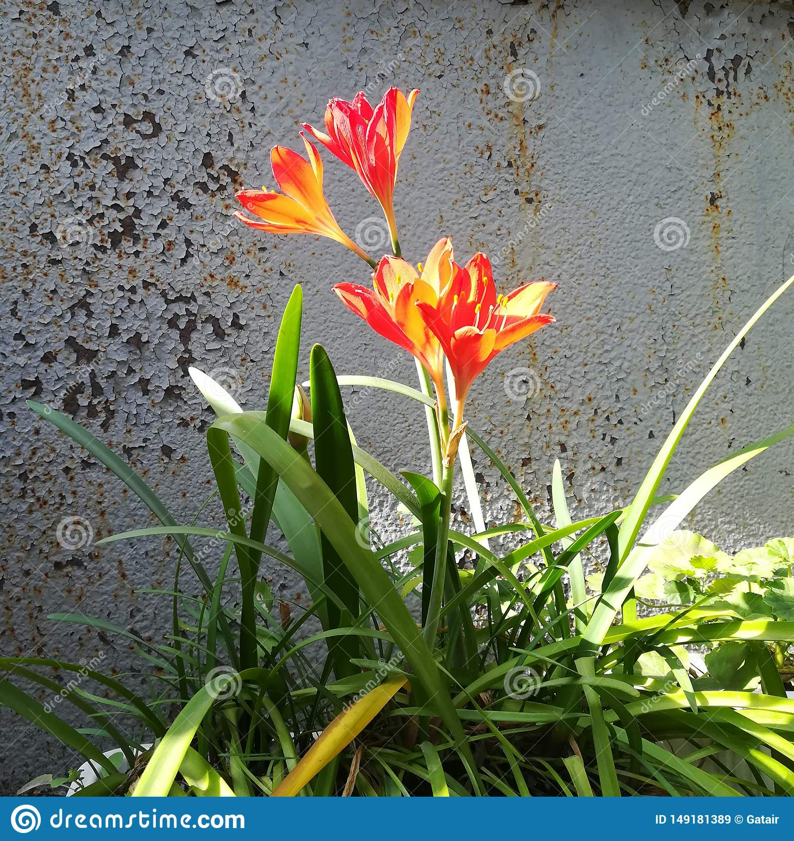 red lily with green leaves on grey grunge background