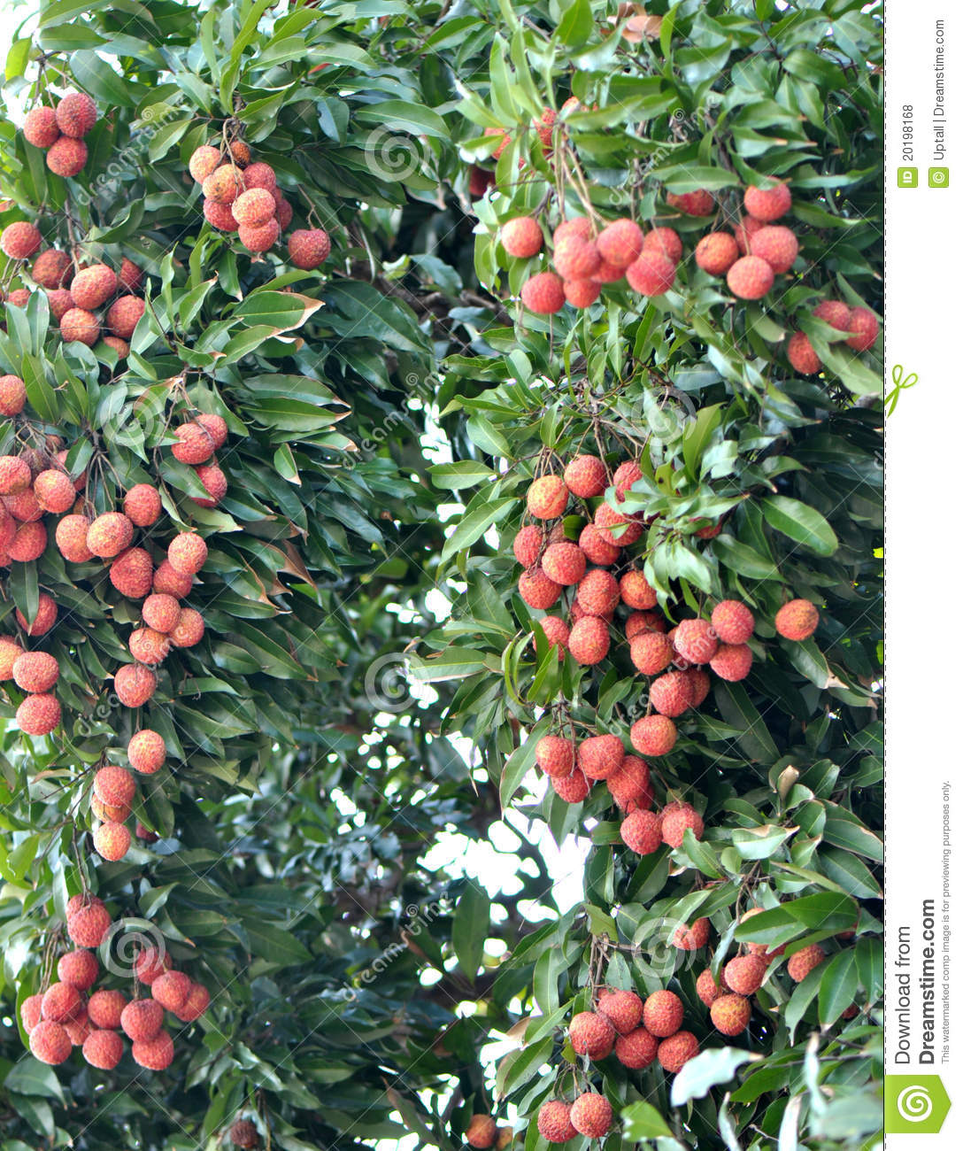 Red Litchi Fruits At Tree Royalty Free Stock Photos ...