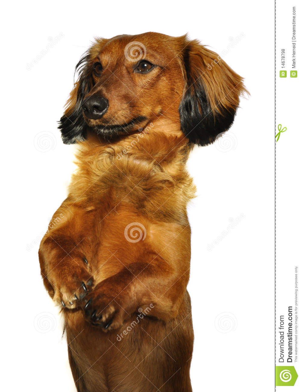Red Long-Haired Dachshund Begging Stock Photo - Image ...