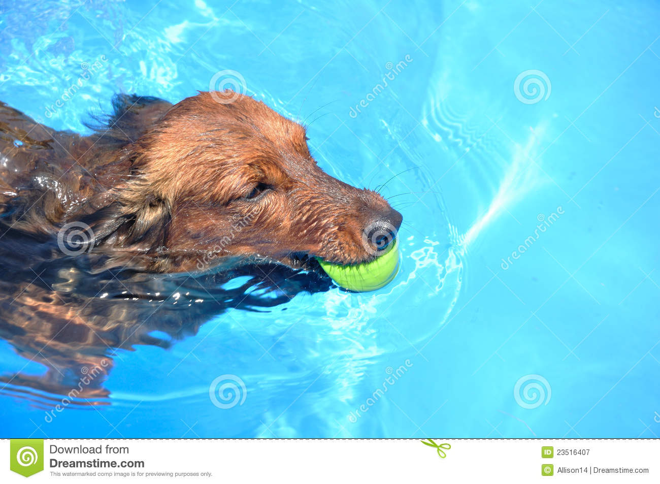 Red Long-Haired Dachshund Swimming Stock Image - Image of copy ...