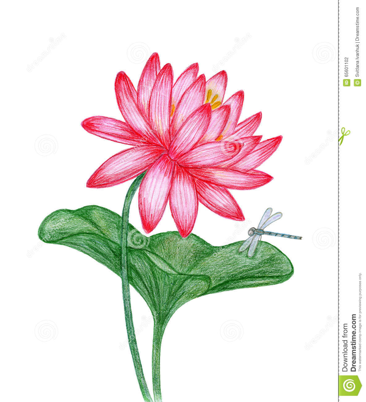 Red Lotus With Dragonfly Stock Illustration Illustration Of Flower