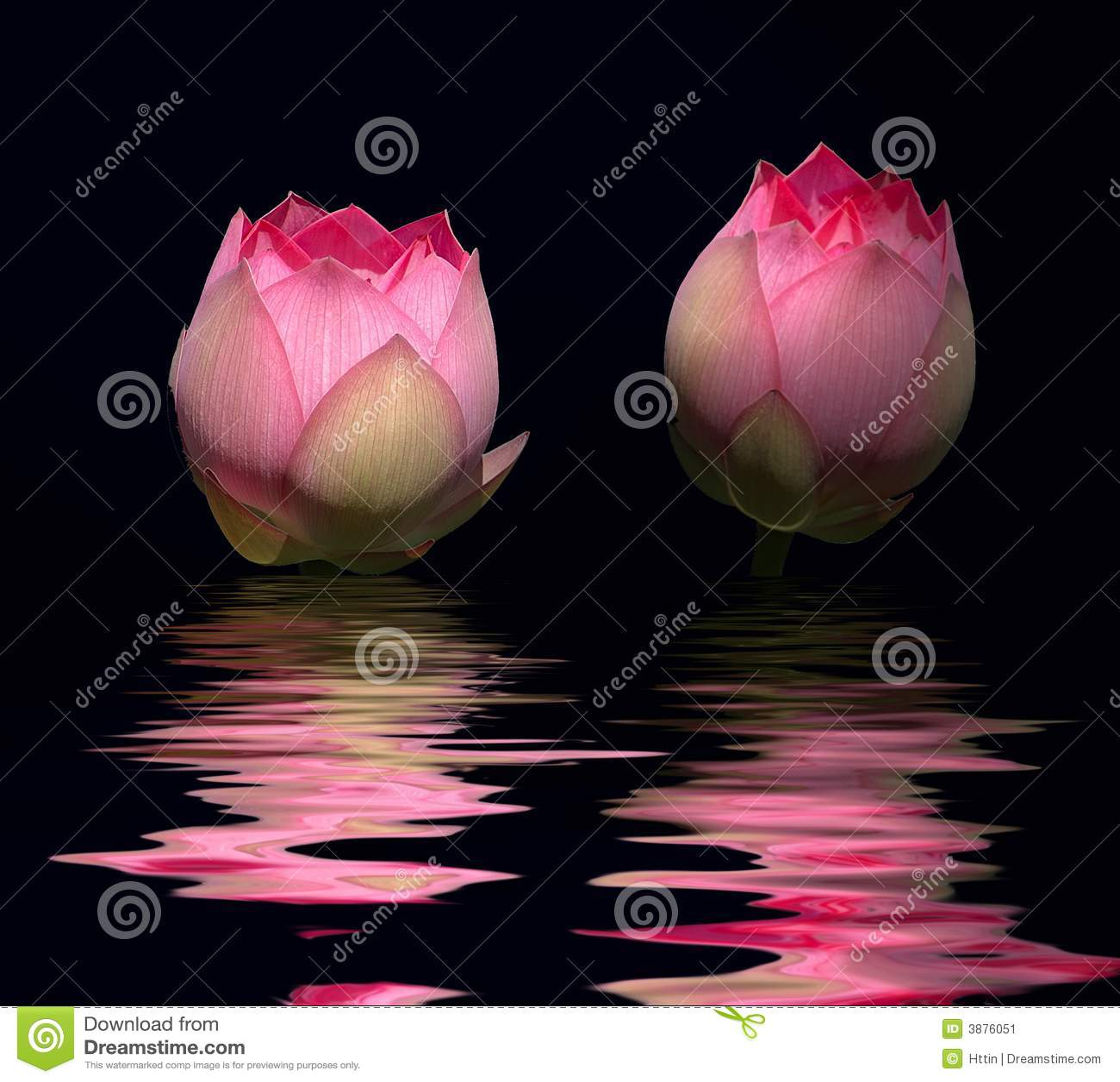Red lotus flower stock image image of aquatic beautiful 3876051 red lotus flower mightylinksfo