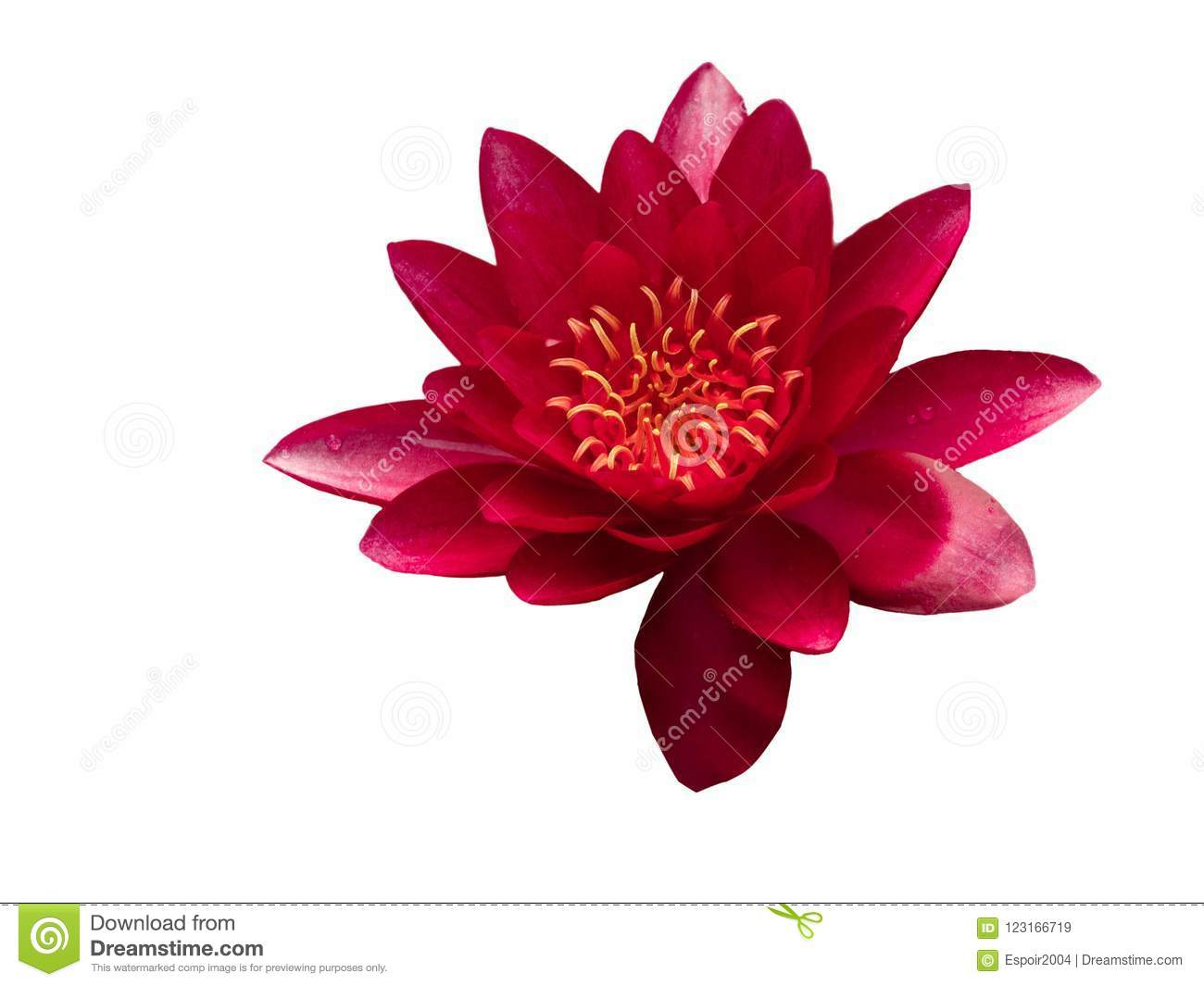 Red Lotus Flowers On A White Background Stock Image Image Of
