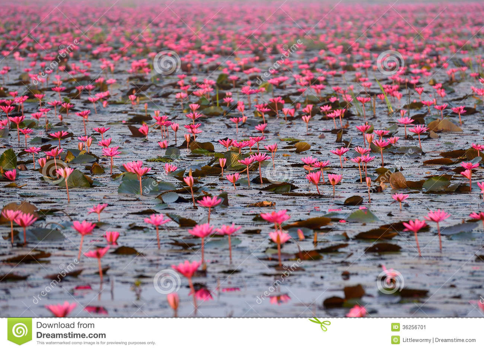 Red Lotus Pond Stock Image Image Of Fresh Pool Flora