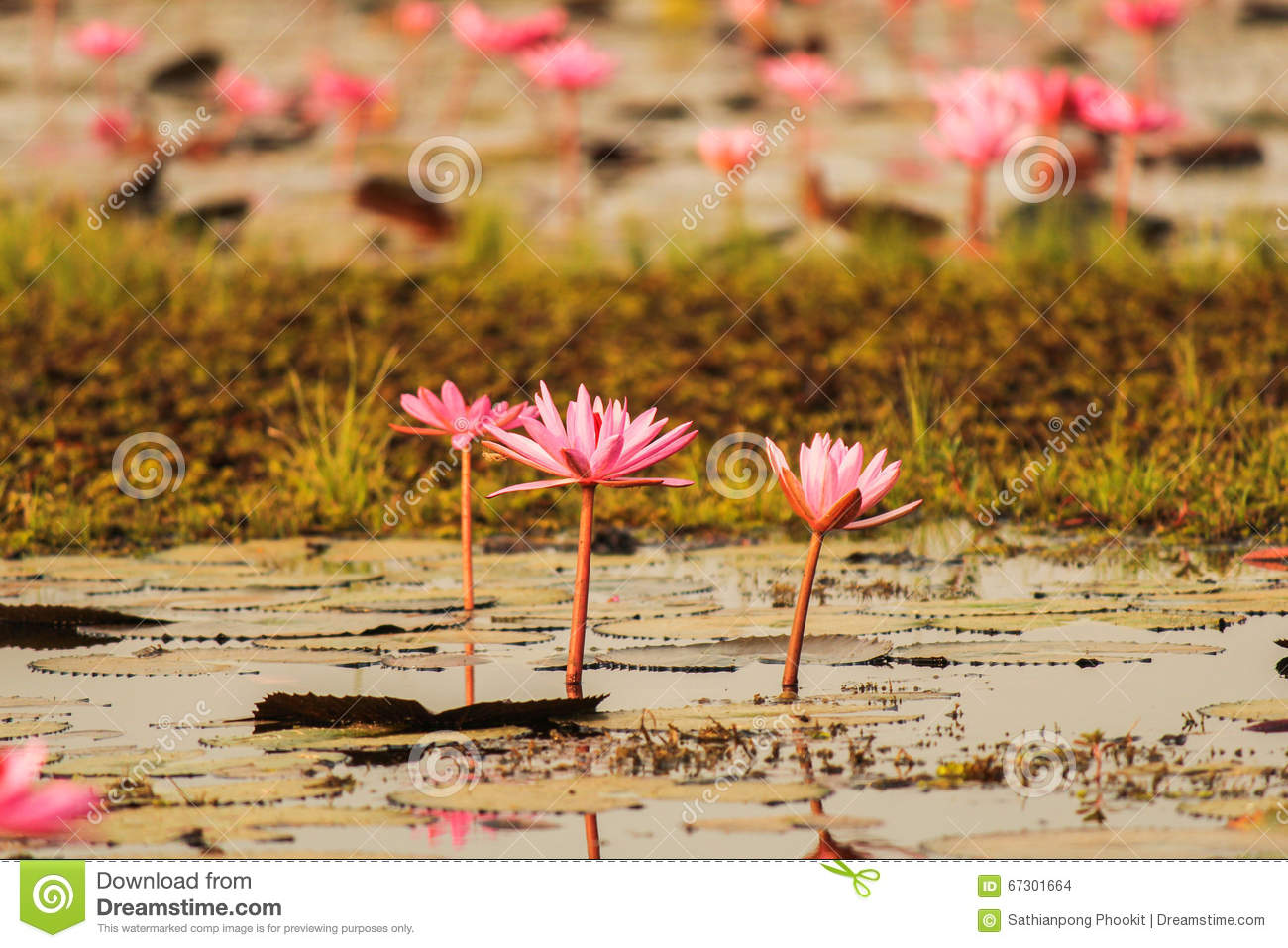 Kumphawapi Thailand  city photos : Red Lotus In The Pond At Kumphawapi, Udonthani, Thailand Stock Photo ...