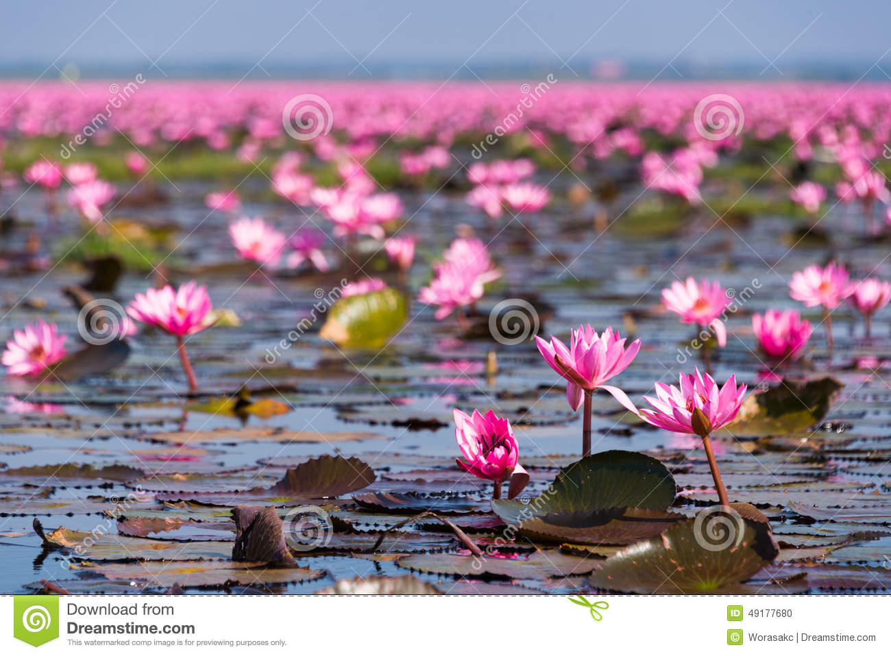 Kumphawapi Thailand  city images : ... Lotus Sea at Nong Han Kumphawapi Lake, Udon Thani Province, Thailand