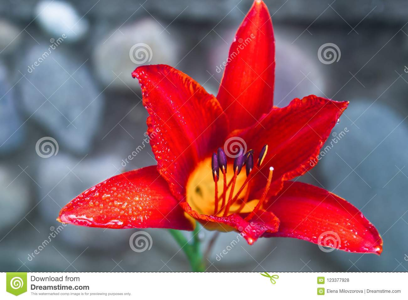 Red Lily Flower with rain drops