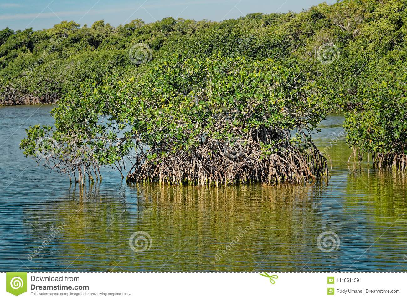Red mangrove in the Everglades