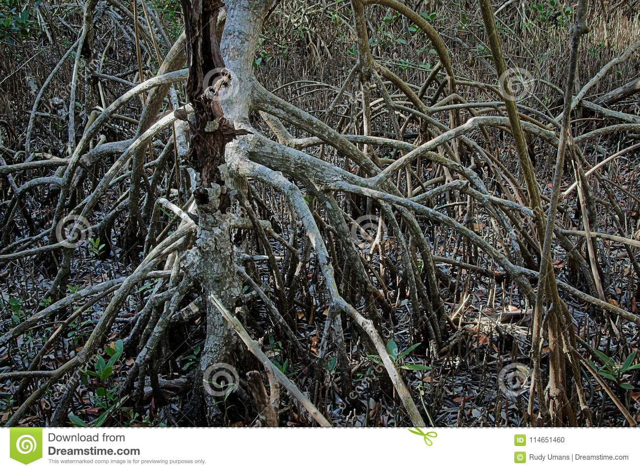 Red mangrove roots in the Everglades