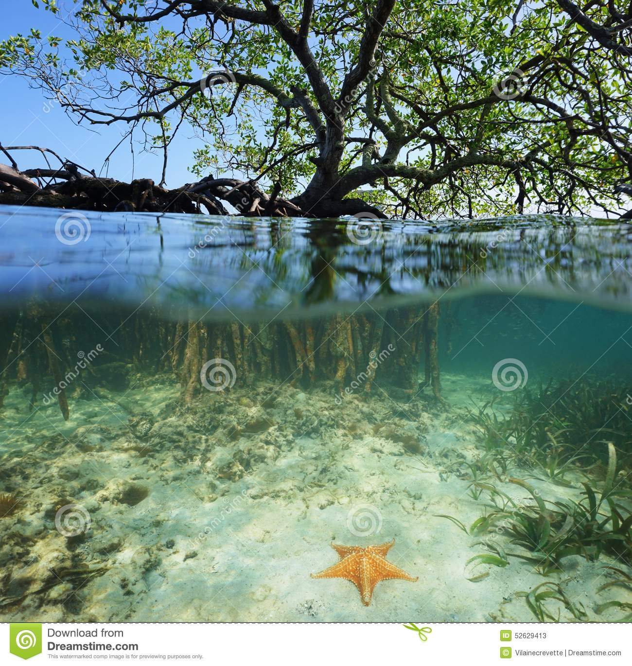 Red Mangrove Tree Split Over And Under Sea Surface Stock ...