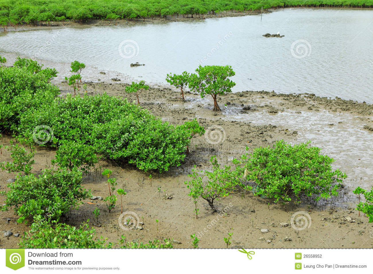 Red Mangroves forest