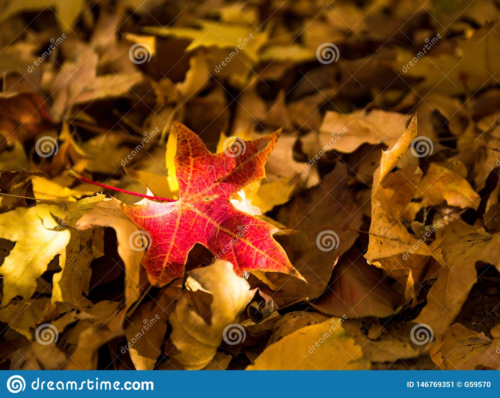 Red maple leaf, close-up, withered leaves, autumn scenery