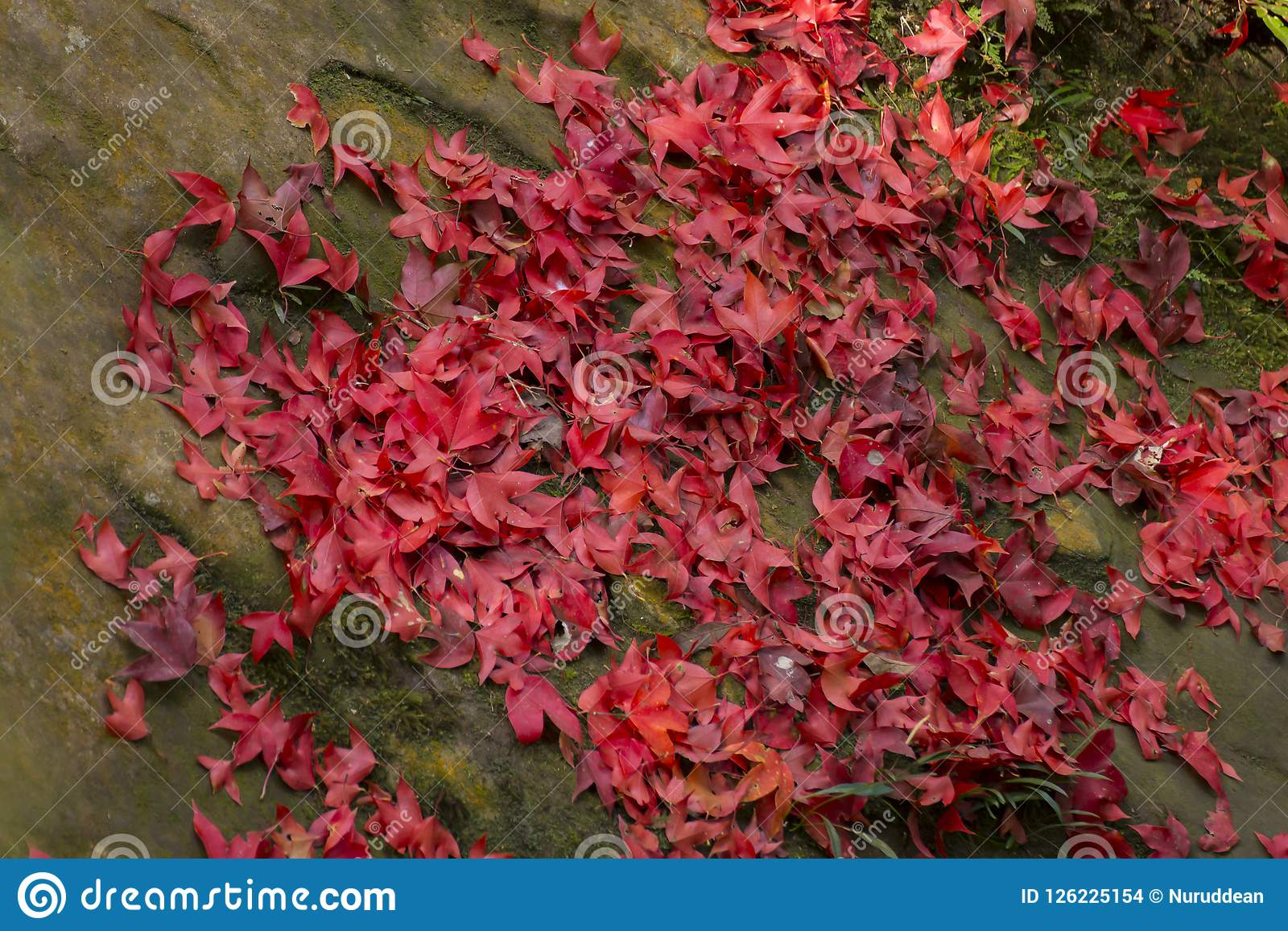 Red maple leaf fall on ground during autumn.  Stock Images