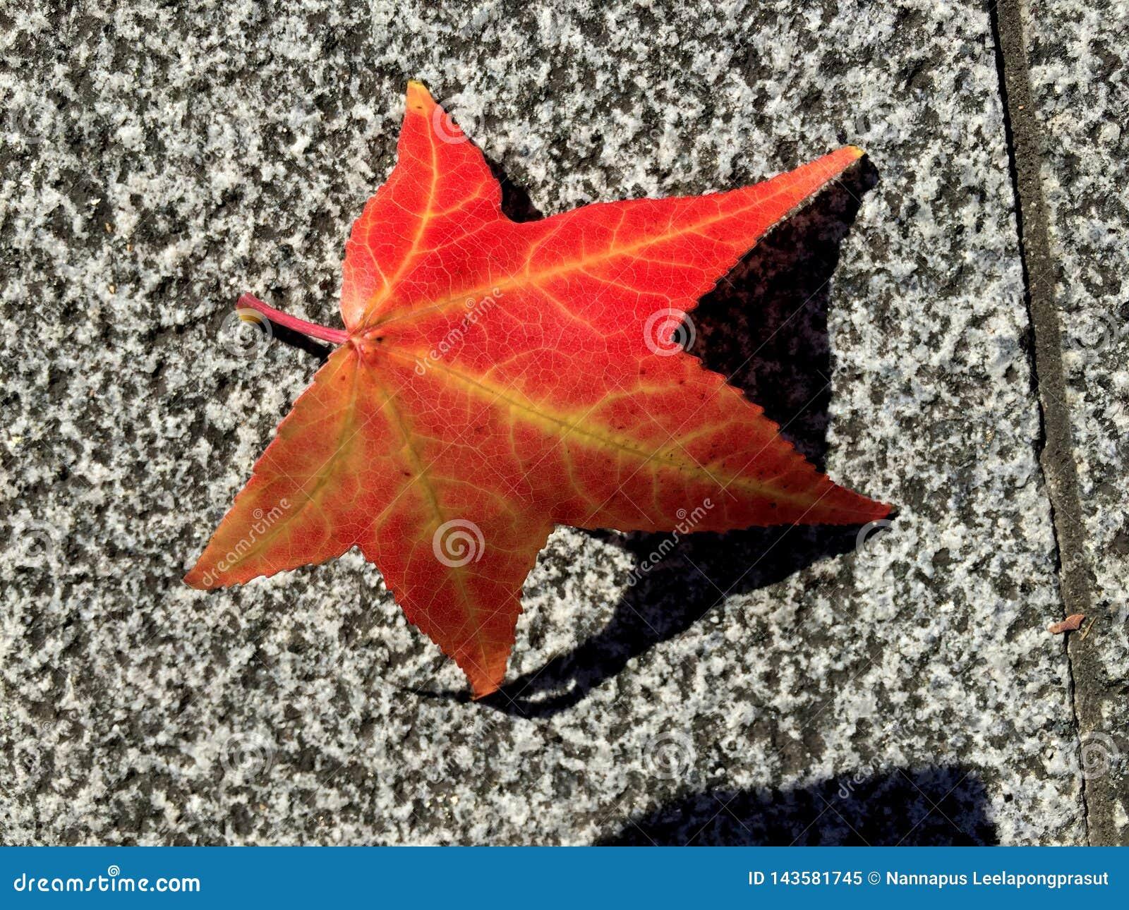 Red maple leaf on flor