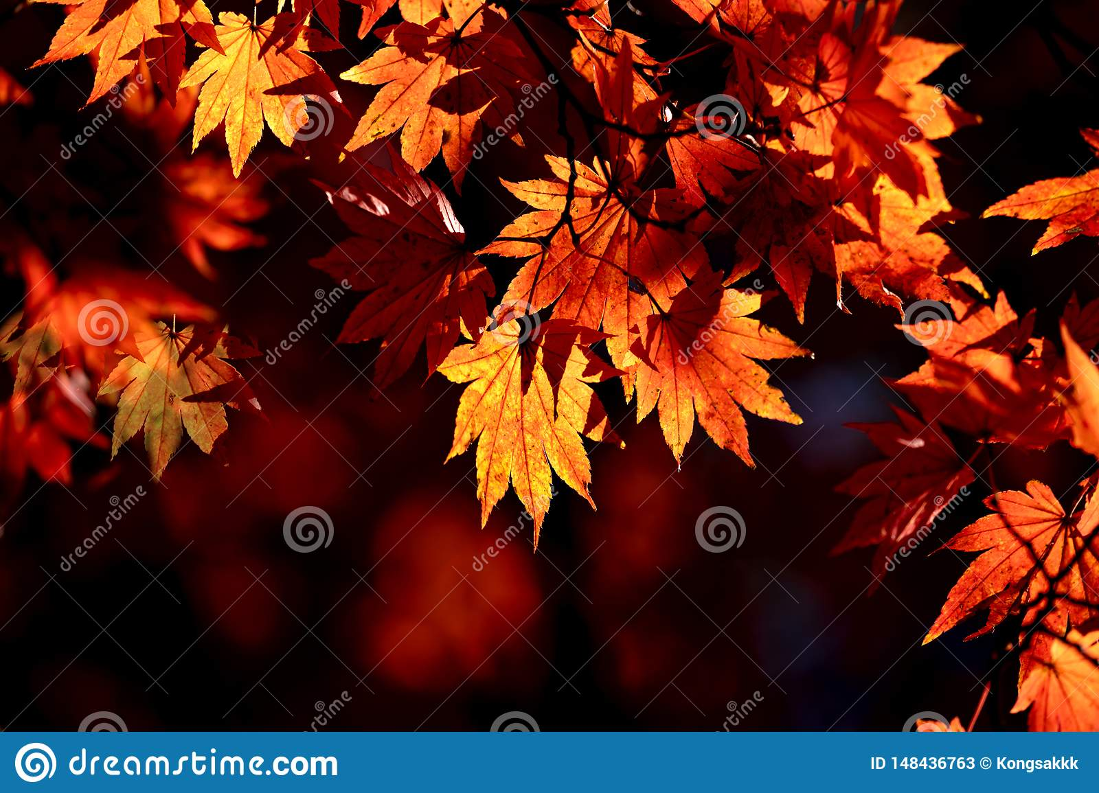 Red maple leaf lighten in high contrast of Japan during Autumn Season