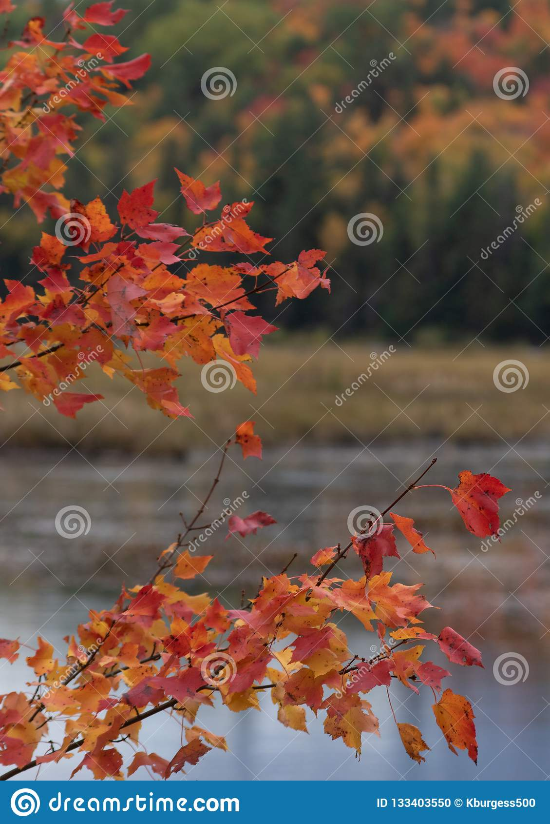 Red Maple Leaves In Autumn Ontario Stock Photo Image Of