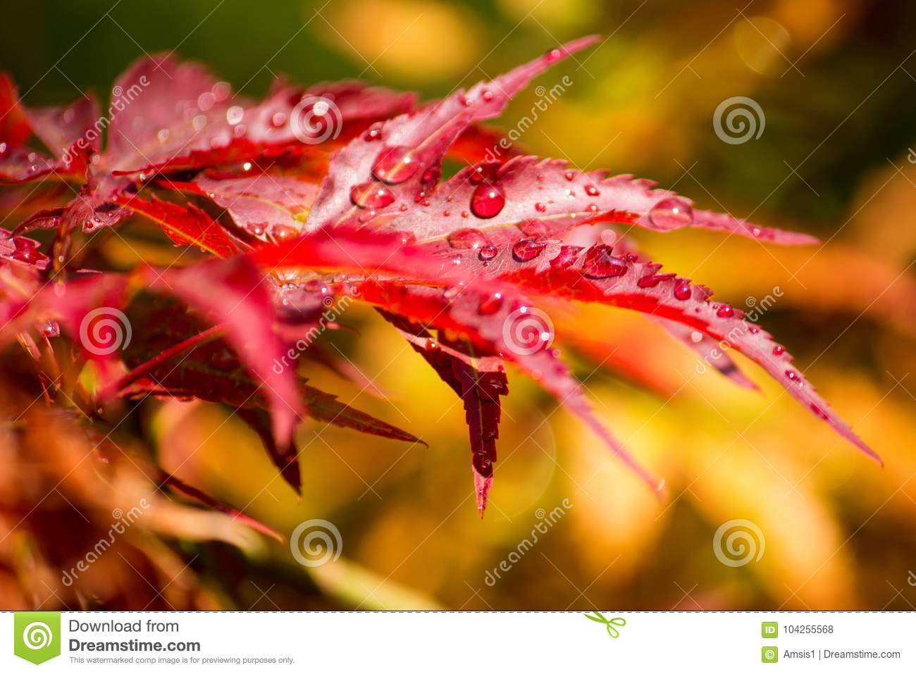 Red maple with rain drops