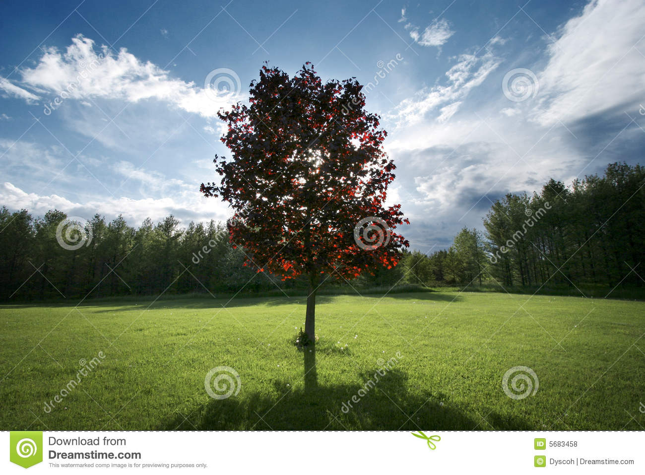 red maple tree in backyard royalty free stock photos image 5683458