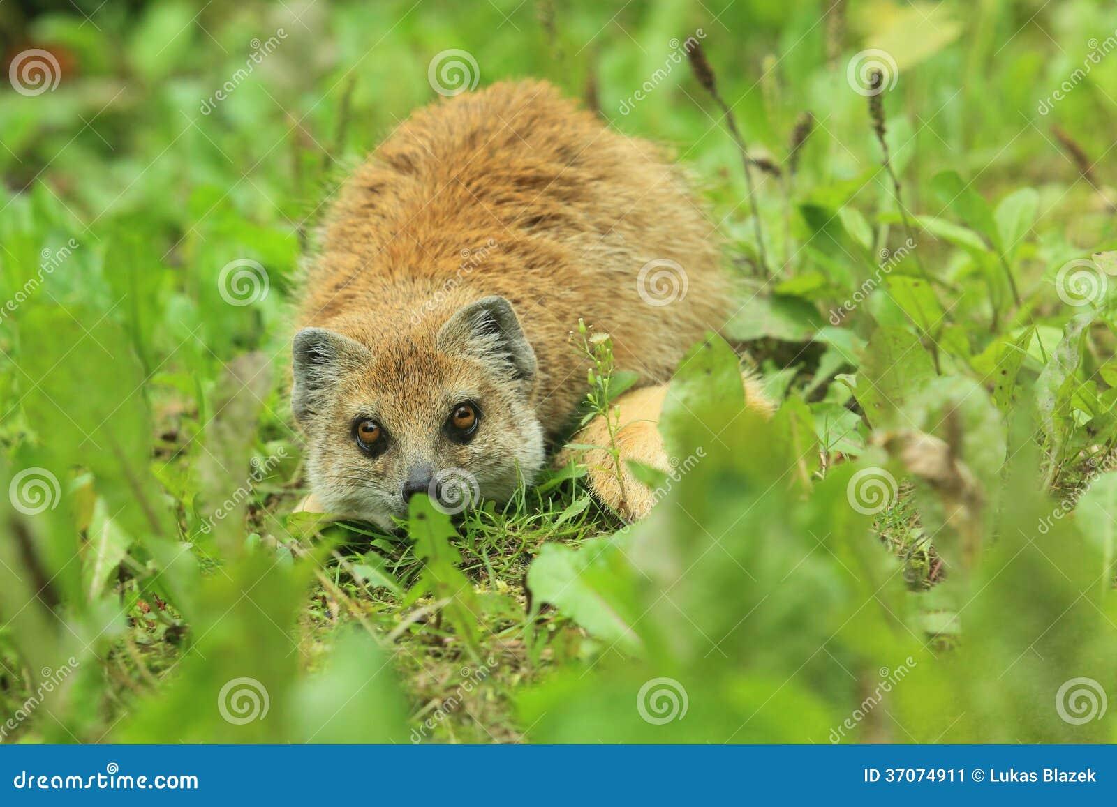 Red Meerkat Red meerkat