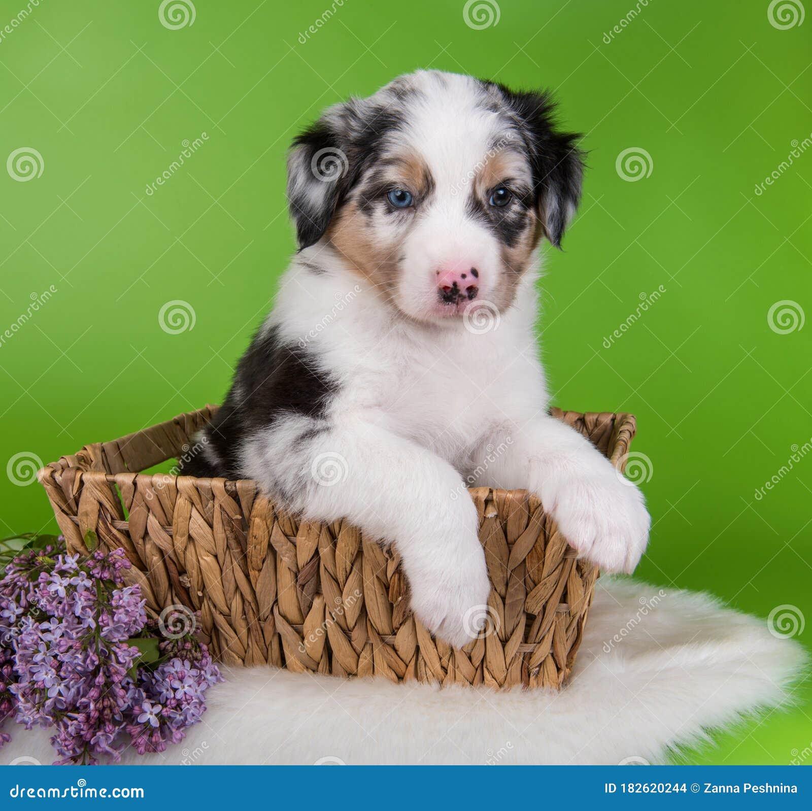 Red Merle Australian Shepherd Puppy Lilac Flowers Stock Photo Image Of Canine Portrait 182620244