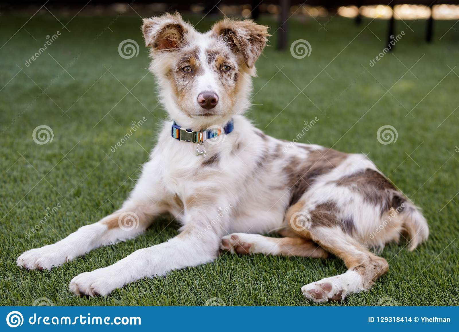 Red Merle Australian Shepherd Puppy Lying Down And Looking At Camera Stock Photo Image Of Canine California 129318414
