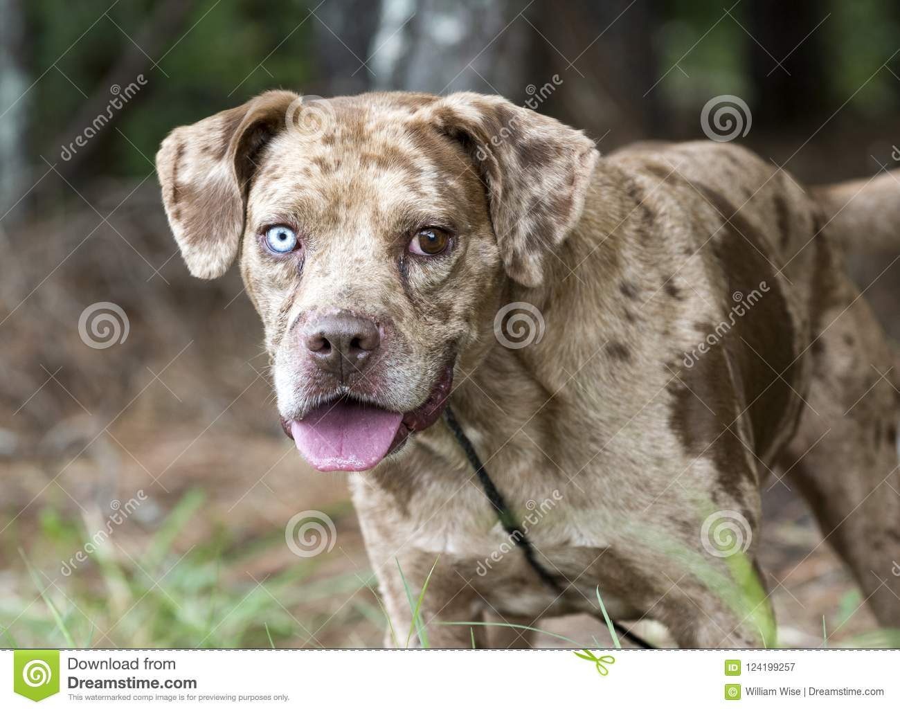 Red Merle Catahoula Leopard Dog Outdoors On Leash Stock