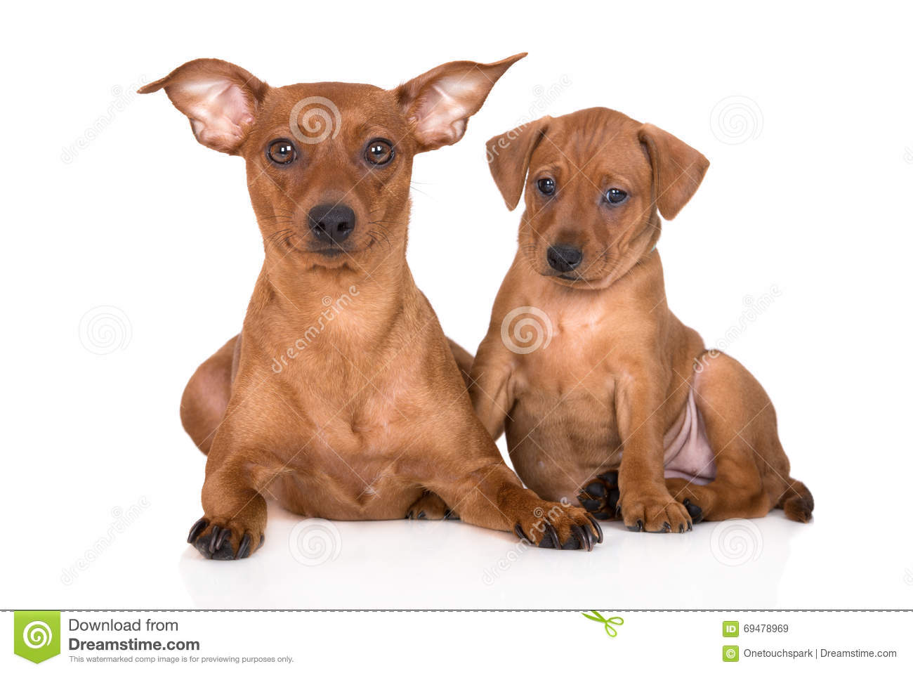 Red Miniature Pinscher Dog With Puppy Stock Image Image Of Studio