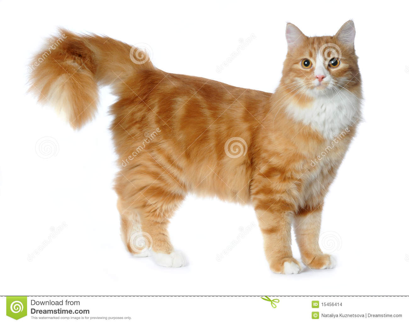 Red Mixed breed Cat Isolated White Stock Image