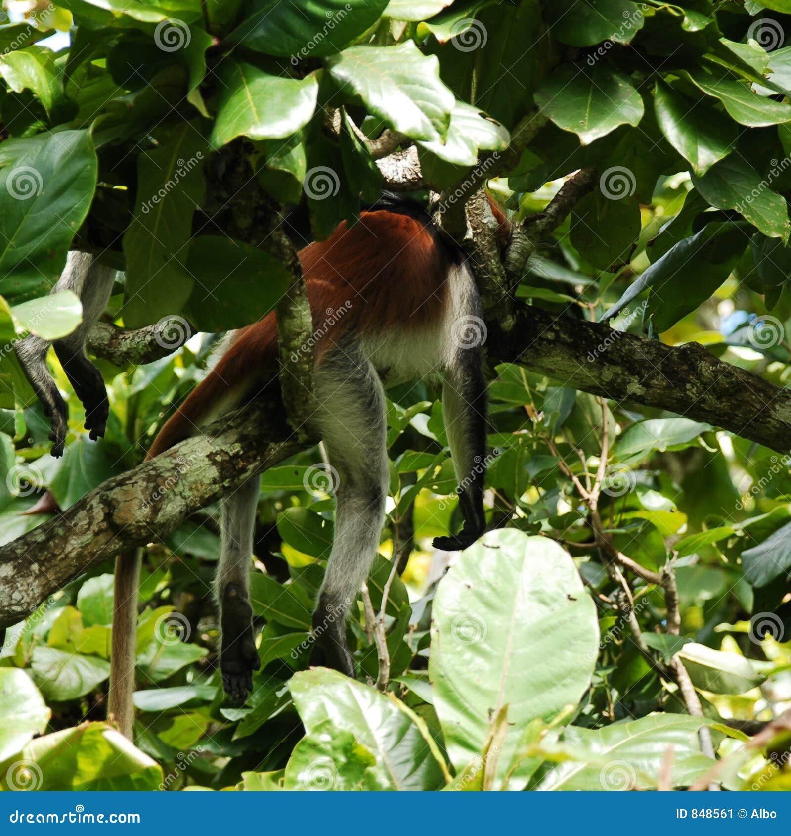 Red monkey sleeping