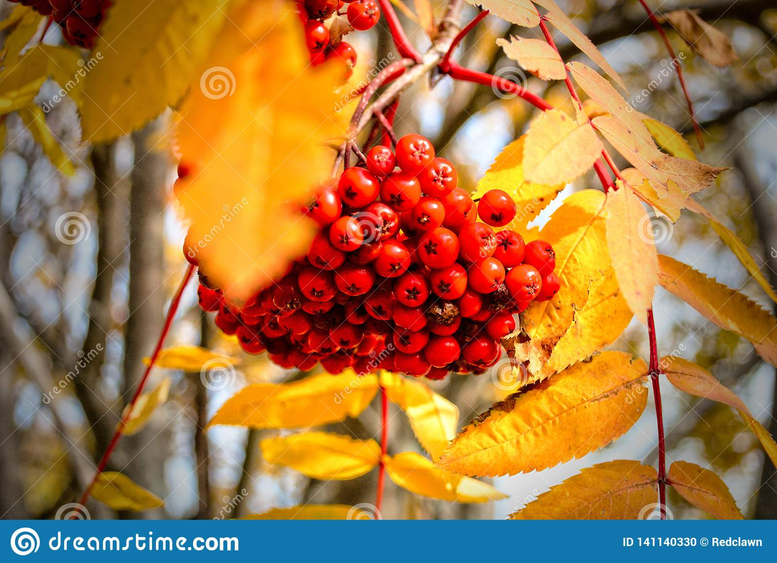 Red Mountain ash in autumn