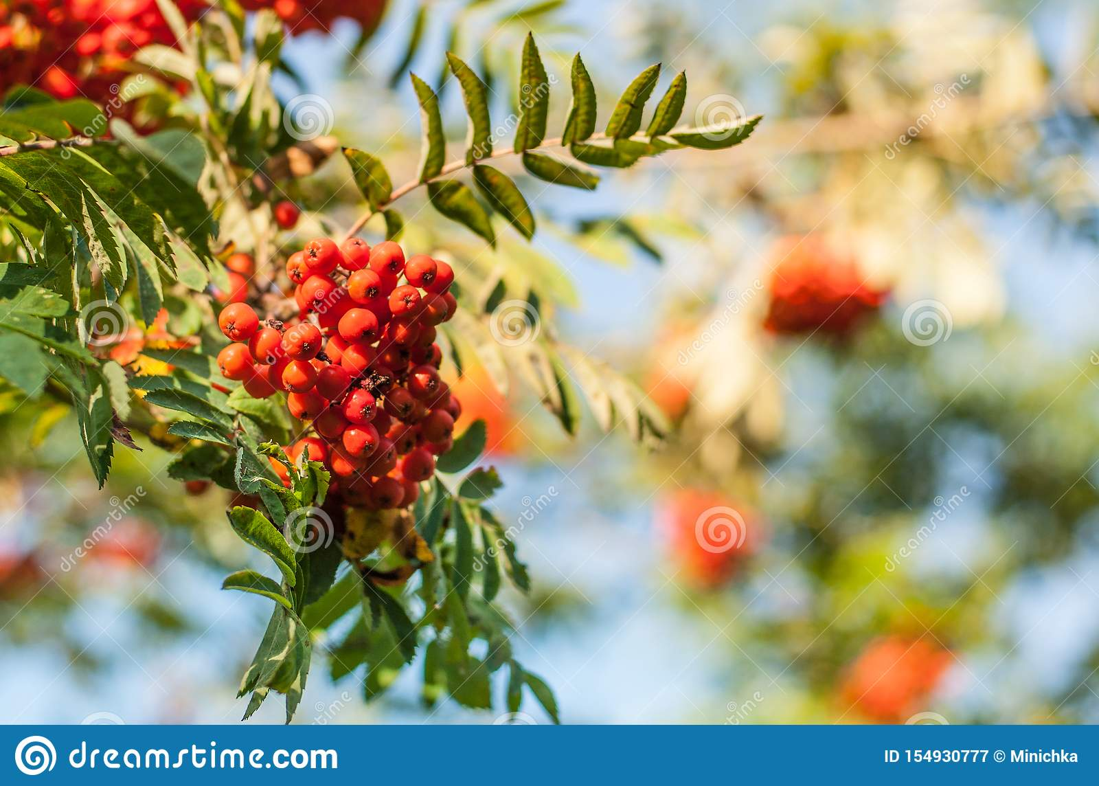 Red mountain ash berries on a brunch
