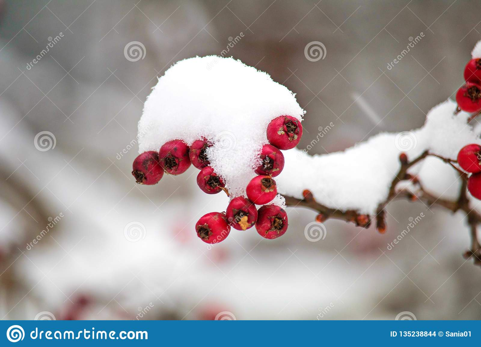 Red mountain ash on a branch under a snow cap. feed for birds in winter. frozen berries in frost