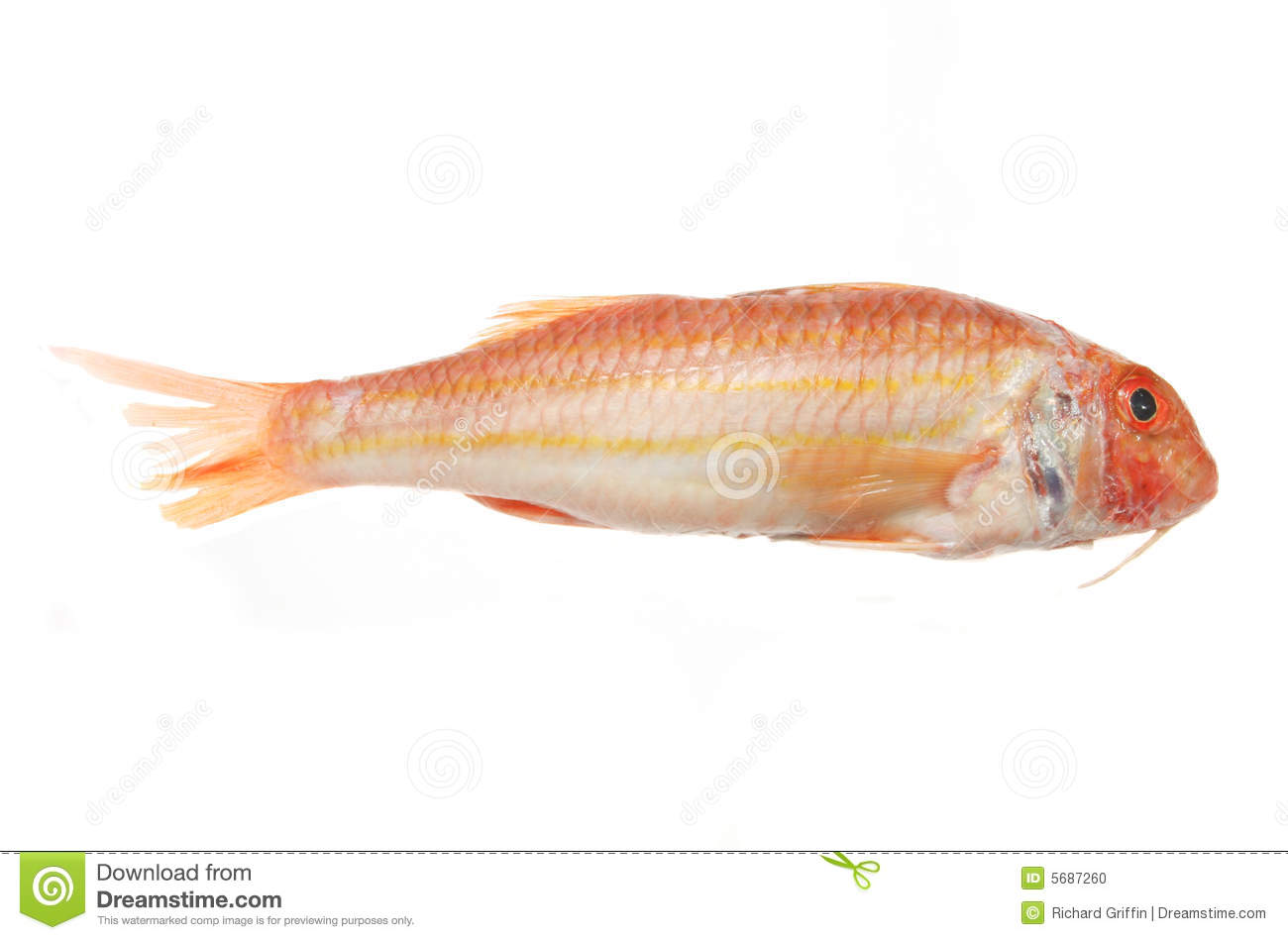 Red mullet fish stock photo image of mullet tail for Red mullet fish