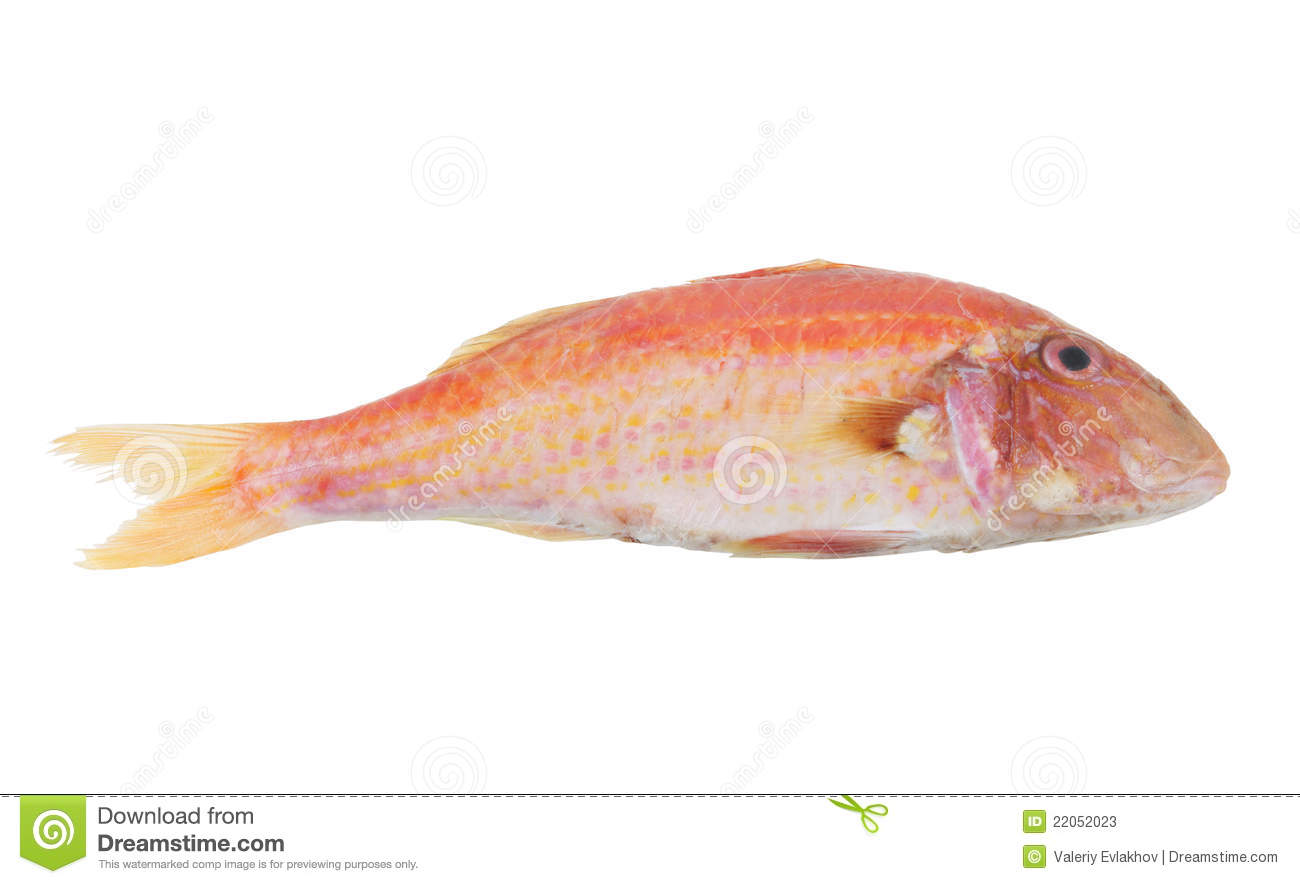 Red mullet fish isolated stock photos image 22052023 for Red mullet fish