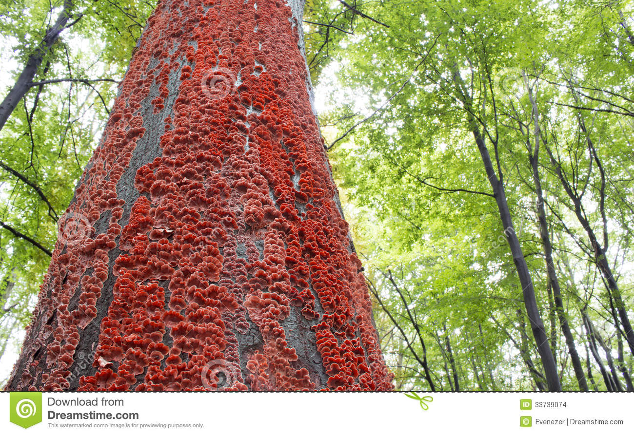 Red Mushrooms On The Bark Of A Tree In The Forest Stock Photo ...