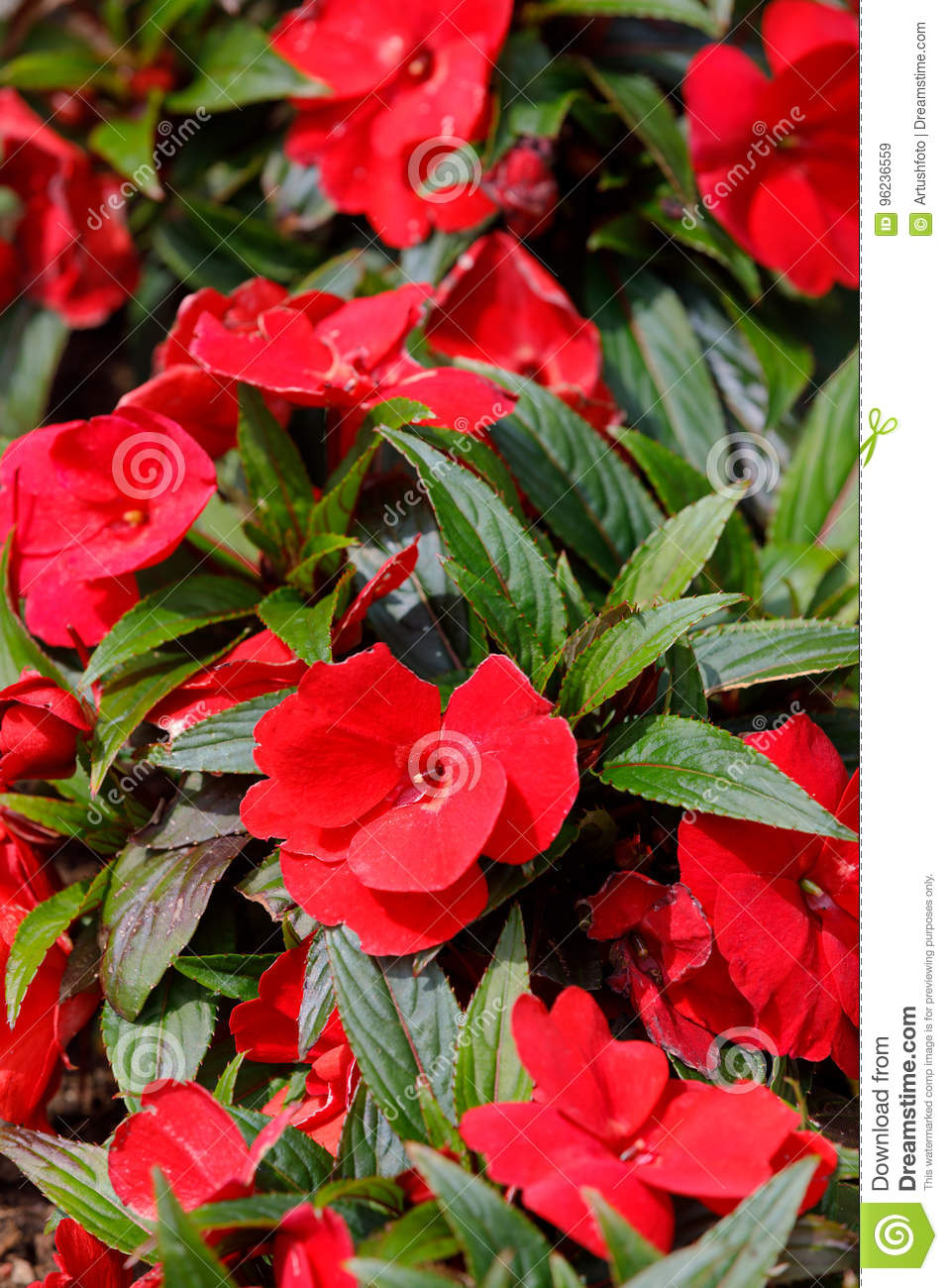 Red New Guinea Impatiens Flowers In Pots Stock Image Image Of