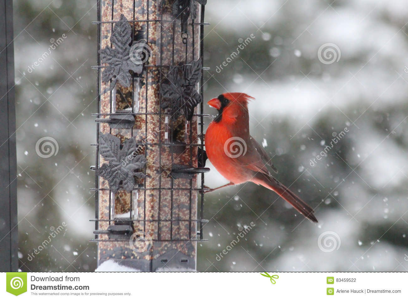 red northern cardinal in the snow stock photo image of december