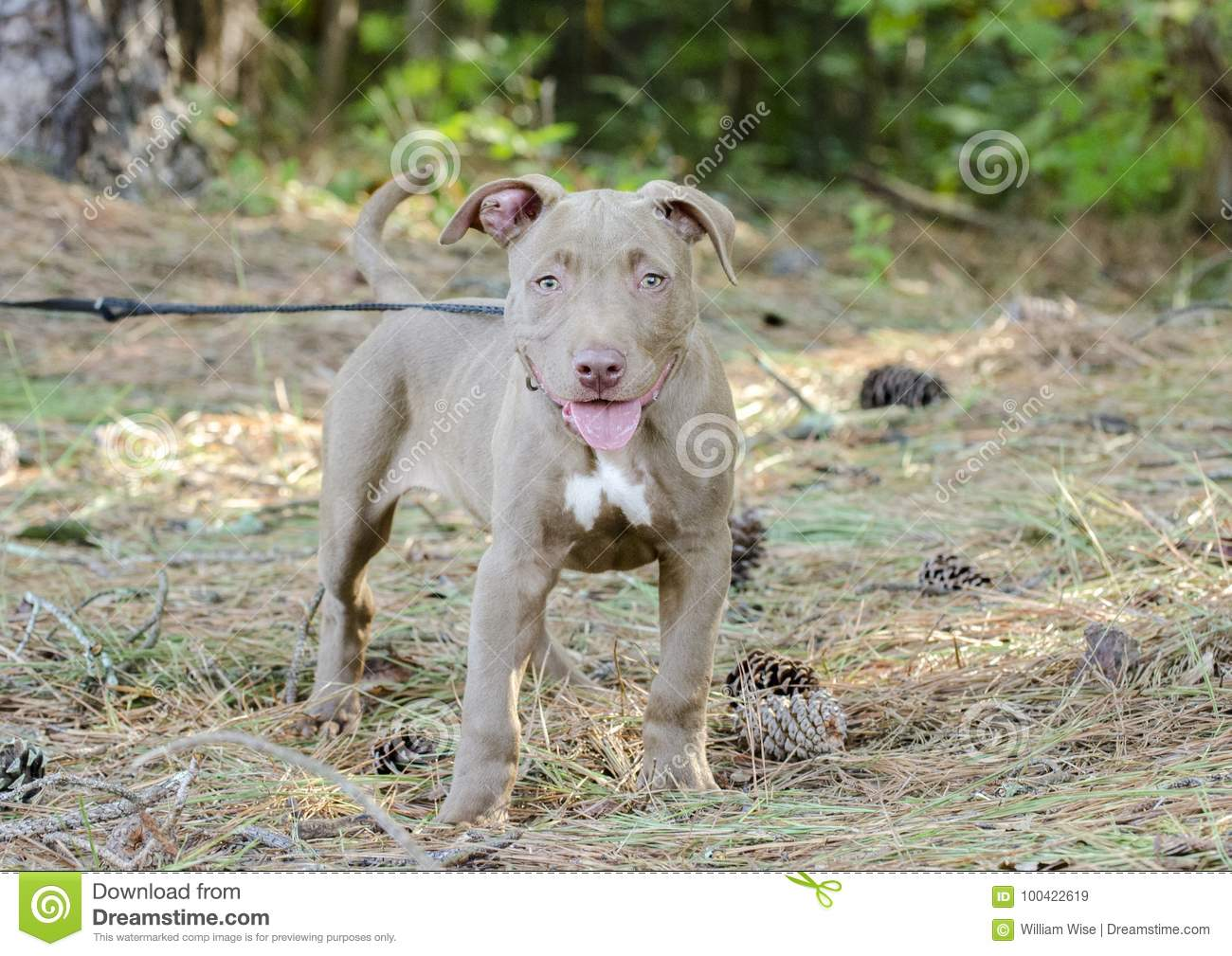 American Pitbull Terrier Puppy Dog Stock Image - Image of
