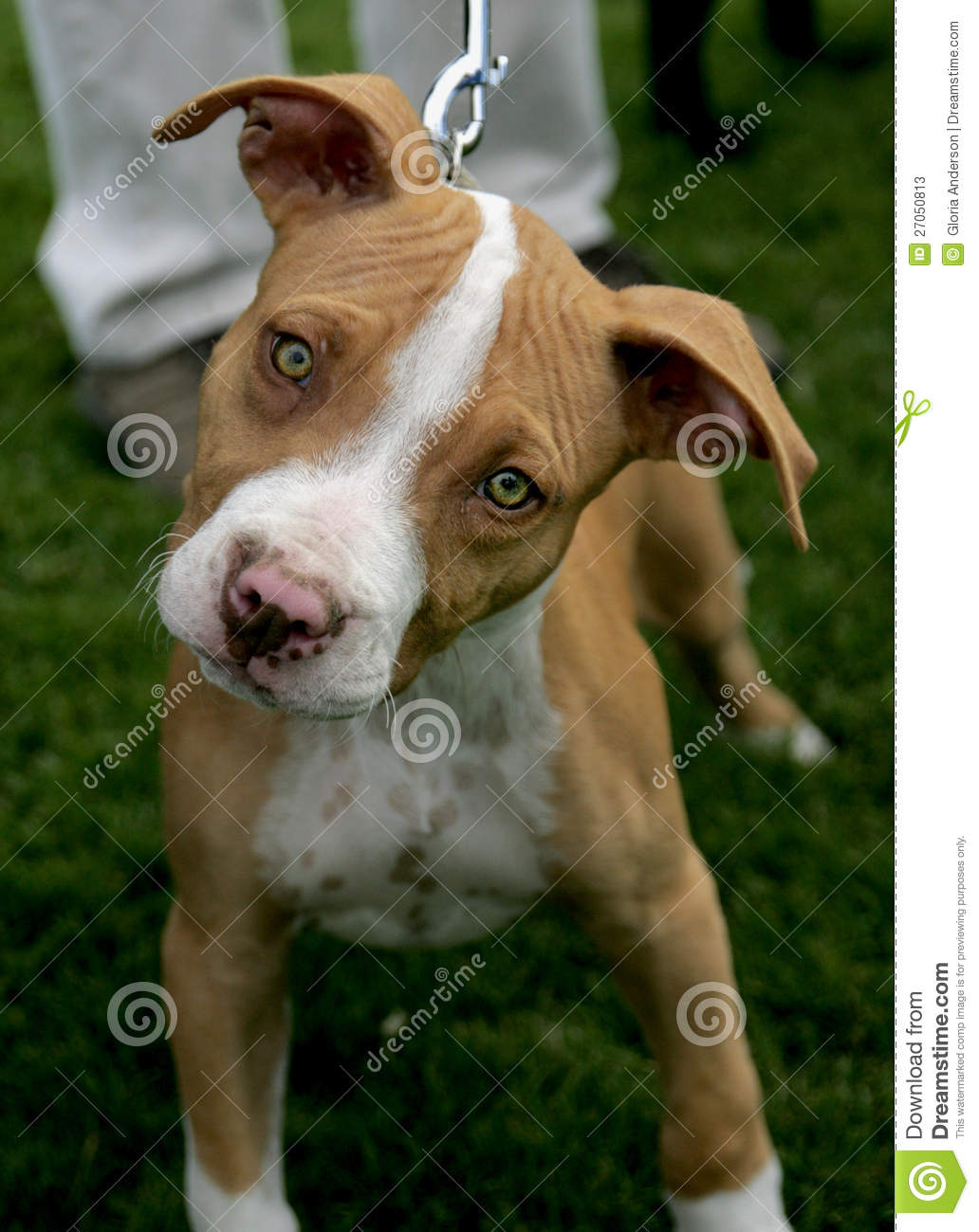 Red Nose Pitbull Puppy Stock Image Image Of Gray Play 27050813